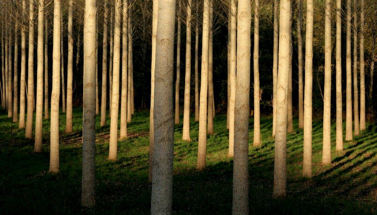 Ardenne Un référentiel sur les qualités du bois de peuplier ~ Bois De Peuplier