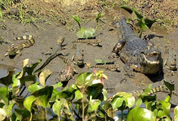 Pantanal caiman  with 8 babies !!!