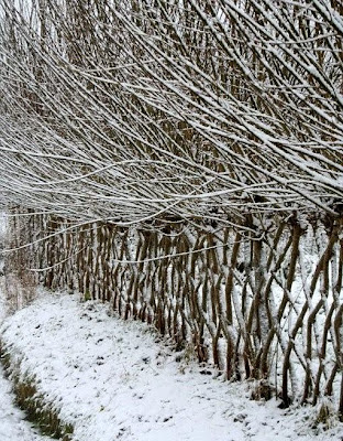 Mature living willow fence in the snow