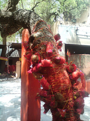 Coconuts tied on the tree in the Salasar Balaji temple premises
