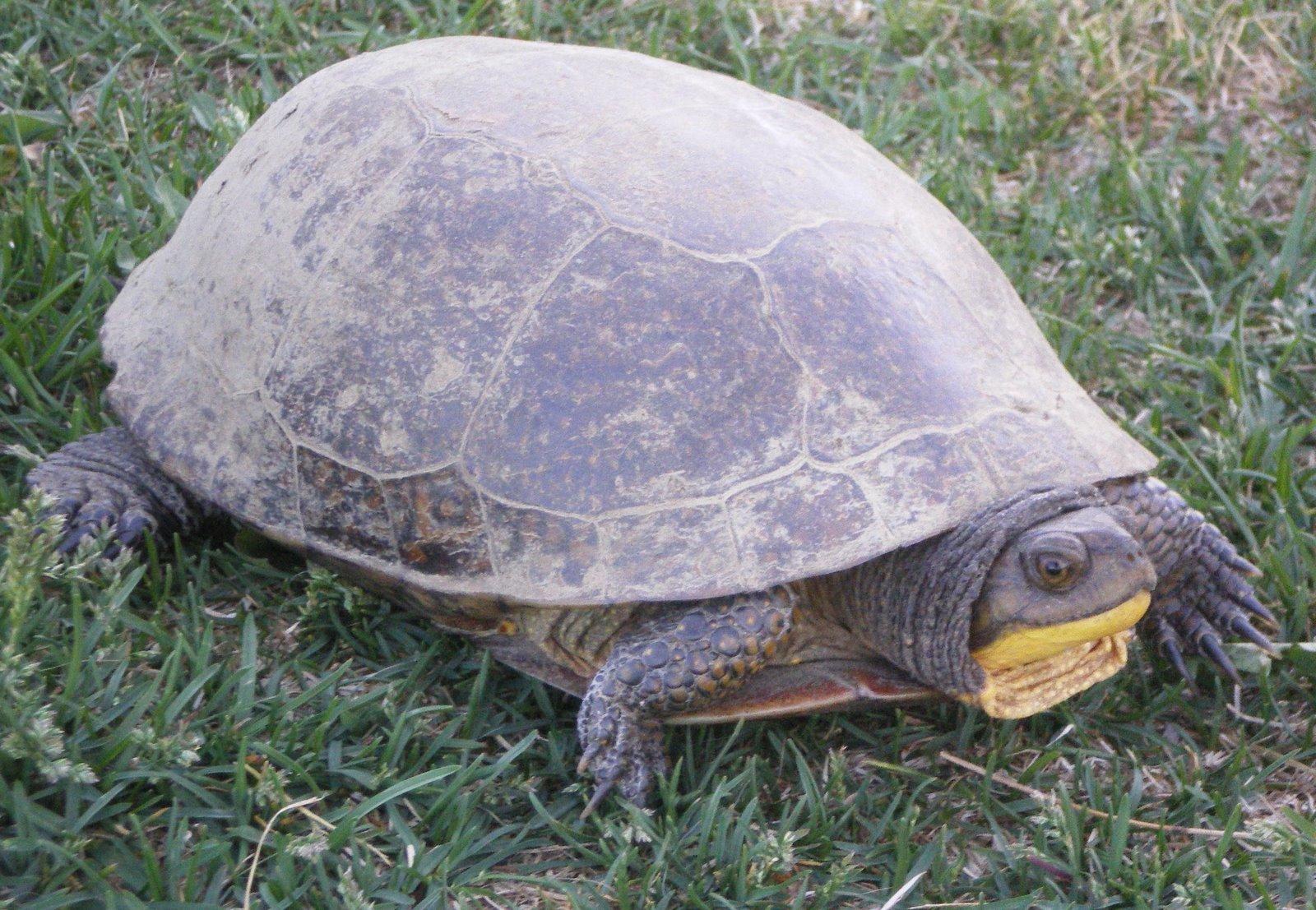Красноухая черепаха: фото, уход и содержание, кормление, видео
