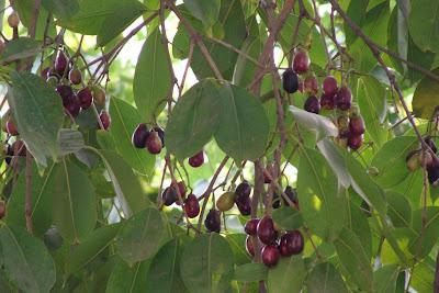 فاكهة الجامون Jamun