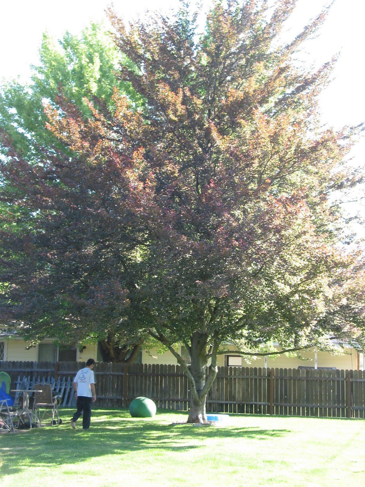 Tricolor beech tri color beech tree