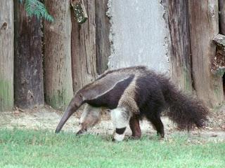 http://2.bp.blogspot.com/_eCQvgVjNcYo/SeOLAJfs5bI/AAAAAAAAAYA/sd5eePNHG6k/s320/Giant_anteater-by_John_White.jpg