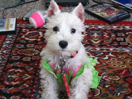 Coco the Mini Schnauzer