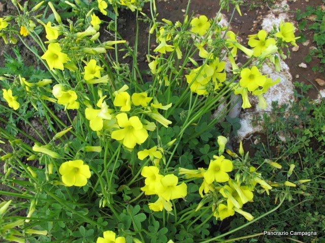 fiori gialli siciliani