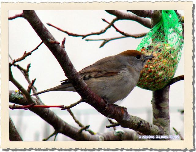 Photos daniel oiseau for Oiseau tete noire