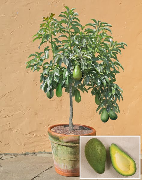 2 pack dwarf avocado seed rare enano tree free shipping