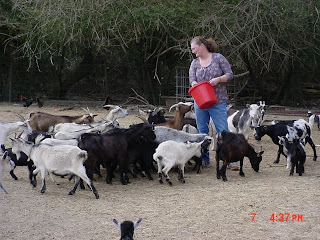Sheryl feeding her goats