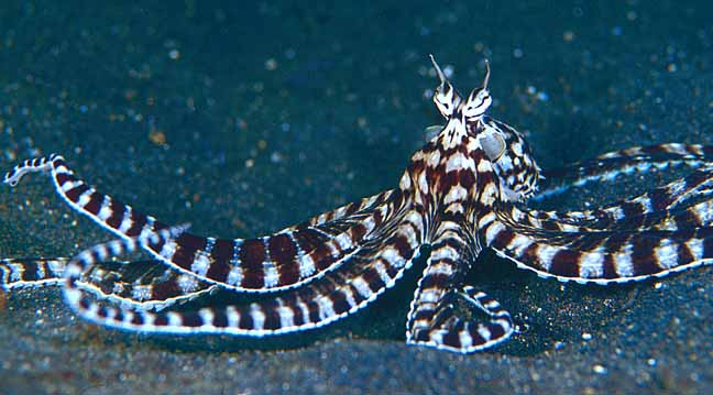 mimic octopus After taking home a rare mimic octopus for the first time, the author shares the many thrills and heartaches he experienced while getting to know this fascinating animal.