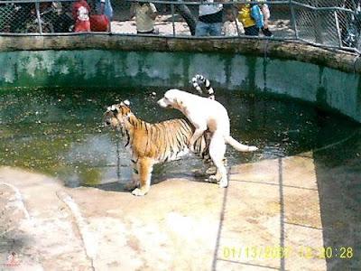 cachorro com tigre