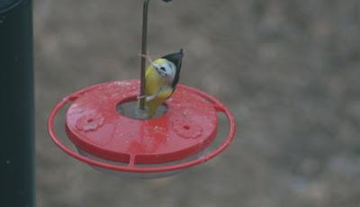 Chickadee Hummingbird Feeder to The Hummingbird Feeder