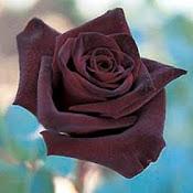 Rosa morada sobre fondo celeste