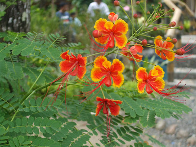 Lovely Tropical Flowers In The Philippines These Blooms Are Found Practically Anywhere Islands