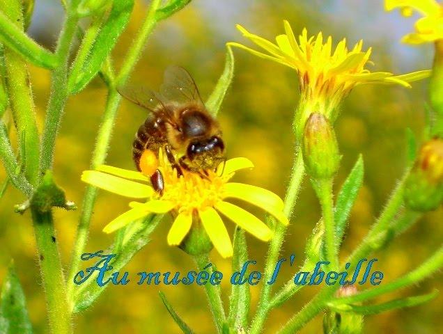 Abeille tellienne récoltant du pollen
