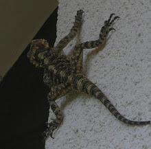 Salamander - Binyamina - 2009