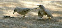 Arabian Babbler - Sde Boker - Negev Desert - 2009