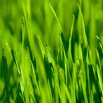 Ocean Grown Wheat Grass