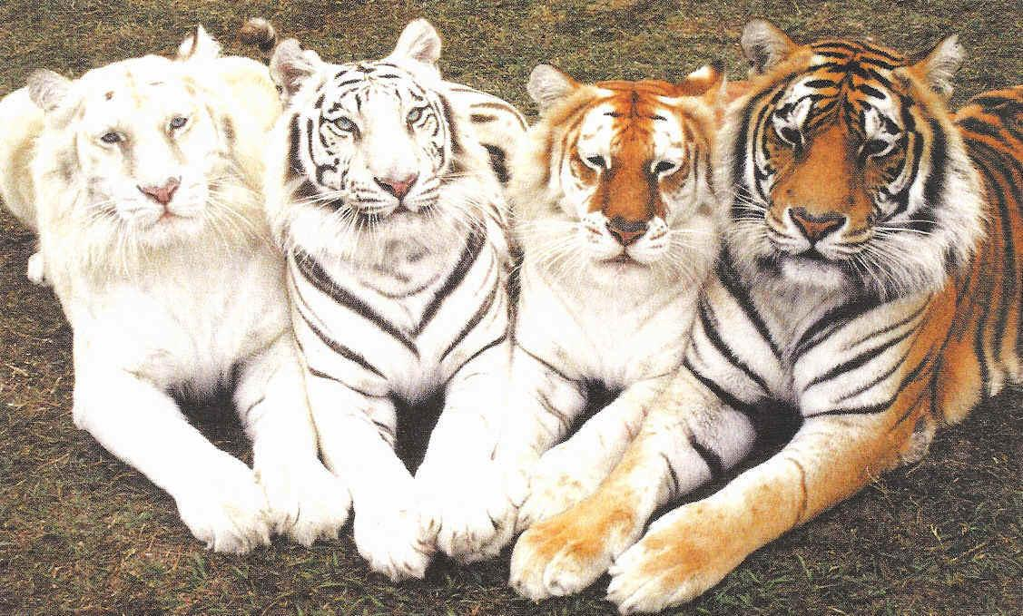 http://2.bp.blogspot.com/_eXnbChRCsuI/TTnAYy5zLMI/AAAAAAAAB8A/o8GP0FNb70E/s1600/tigers.JPG