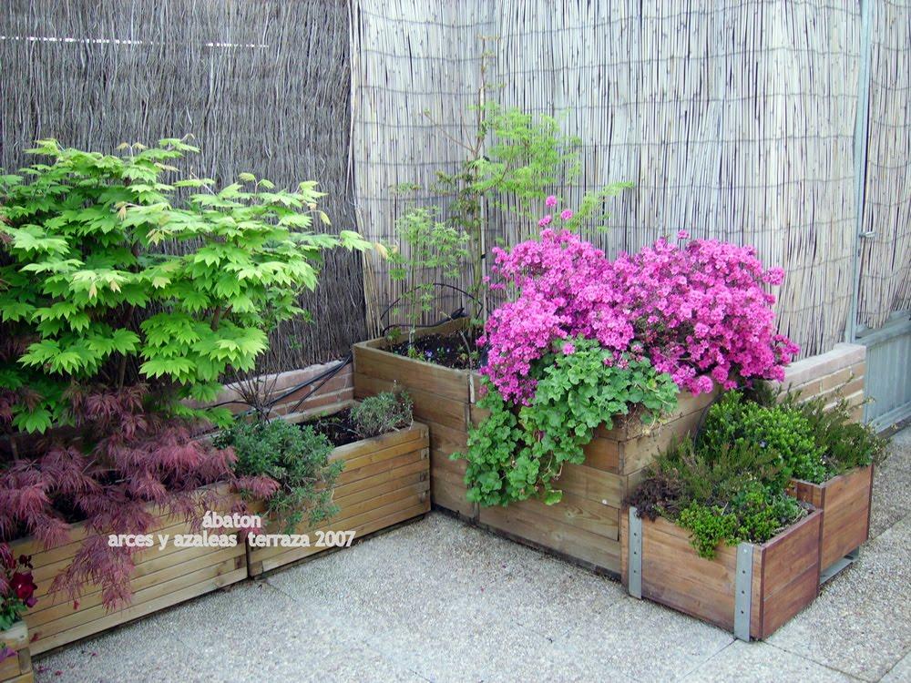 Arces y azaleas en mi terraza lo m s importante en cultivo de arces y azaleas en macetas - Cuidado de azaleas en interior ...