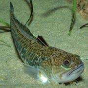 Especies con las que hay que tener especial cuidado!!! Peces-arana-trachinus-draco