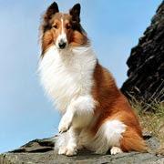 """""""Las Mejores Fotos de un Perro Raza Collie"""""""