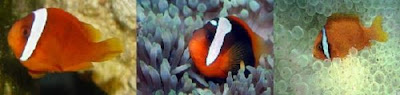 Clownfish,Amphiprion frenatus