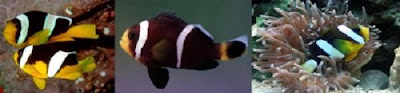 Clown fish Amphiprion sebae