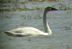 Trumpeter Swan in Indiana
