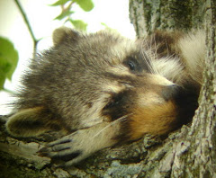 Sleepy Time Coon