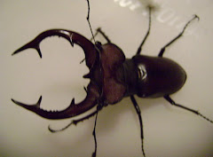 Giant Stag Beetle on my Porch