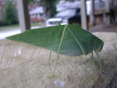 Greater Angle Winged Katydid