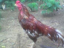 Ayam Bireng
