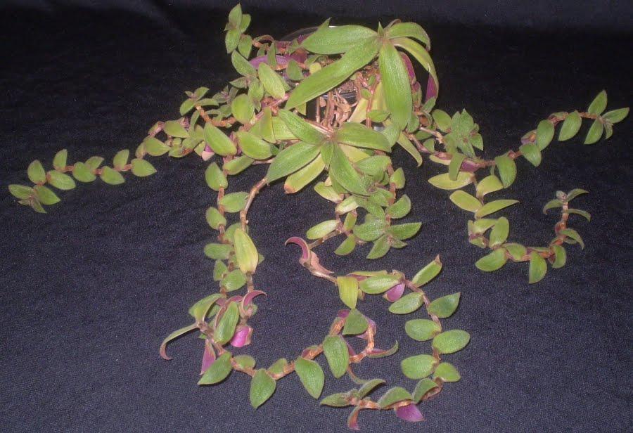 nematanthus gregarius goldfish plant. (lipstick plant)