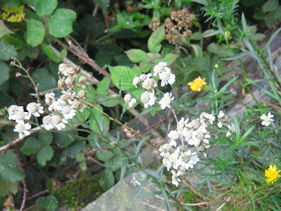 Commonyarrow Flowers on Superficially Like The More Common Yarrow But Has Fewer Larger Flowers