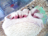 Hedgehog sinh sản