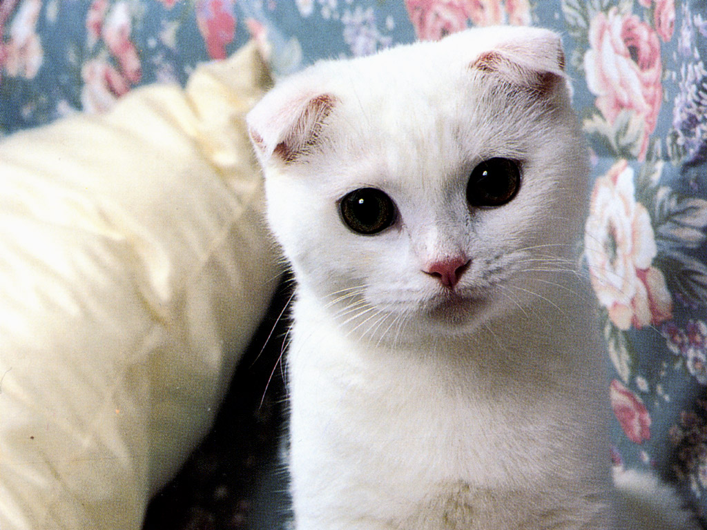 Fondo de gatos blancos fondos de pantalla wallpapers