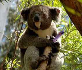 O Koala e a lagartixa