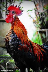 Ayam Abah