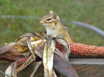 My 'pet' chipmunk feasting....