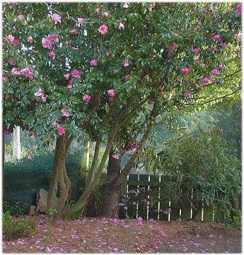 Alison's camellia tree
