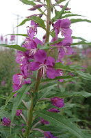 first fireweed