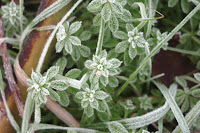 frosted bedstraw