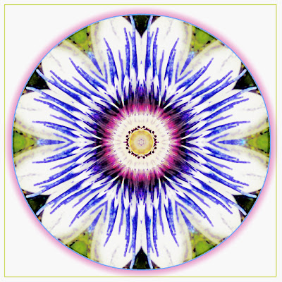 passiflora illuminata