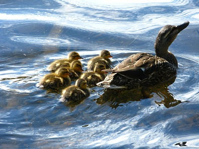 first ducklings of the year