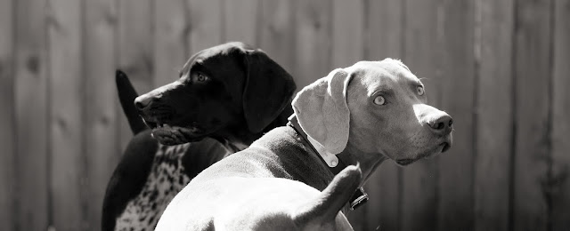 weimaraner and german shorthair stalking squirrel