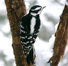 Downey woodpecker female