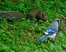 Squirrel and Jay