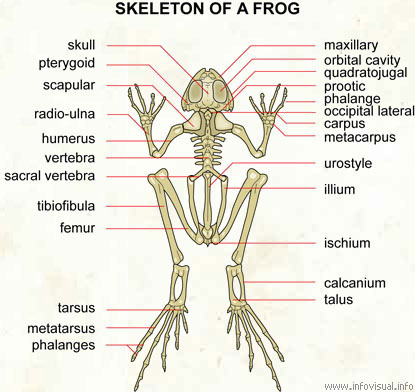 Frog skeleton with label