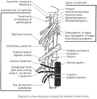 External Carotid Artery | Anatomy Classes